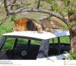 veicolo-abbandonato-con-leone